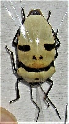 Lot of 20 Pearl Man Face Bug Eucorysses grandis True Insect FAST FROM USA