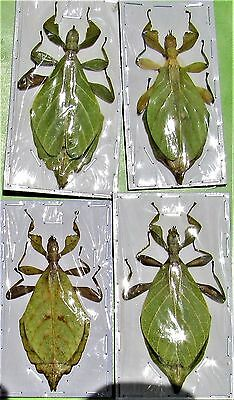 "Rare Jacobsons Leaf Mimic Phyllium jacobsoni Female Near 3"" FAST SHIP FROM USA"