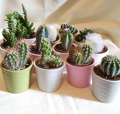 Set of 3 Mixed Cactus/Cacti Plants In 6.5cm Ceramic Pots