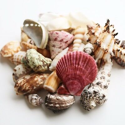 Mixed Sea Shells 350g Large Aquarium Craft Beach Indian Table Wedding Decoration