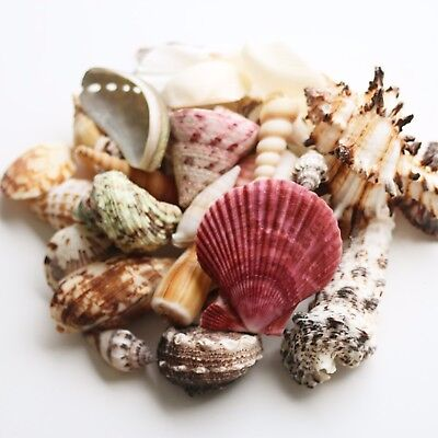 Mixed Sea Shells 400g Large Aquarium Craft Beach Indian Table Wedding Decoration