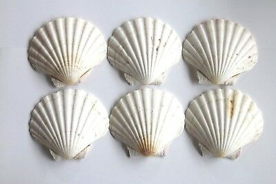 Large Natural Scallop Shells Washed White Natural UK Scallop Shell 7 - 11cm