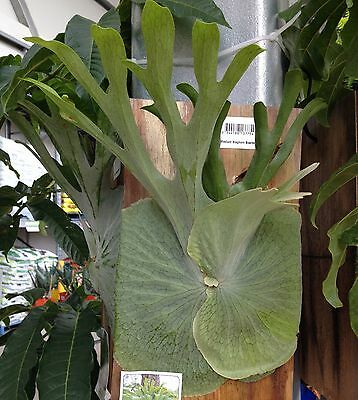 Medium STAGHORN FERN Platycerium superbum native plant on hanging timber board