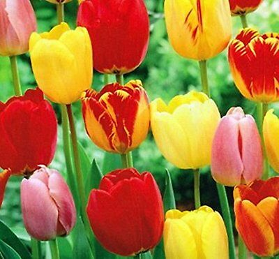 10 Mixed Colors Tulip Bulbs Freshly Imported from Holland  available Variety
