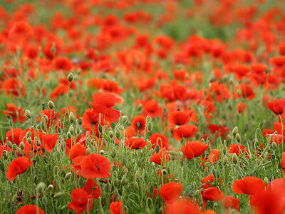14000 seeds of Poppy Red Commun des Champs / Flowers wild / Poppy