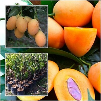 Marian plum, Plum mango Tree Plant Grafted Tall 22'' Fruit Tropical From Thai