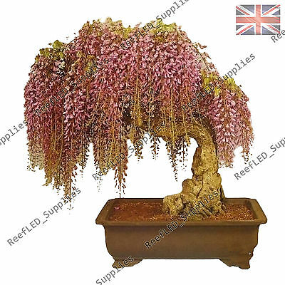 Rare Gold Wisteria floribunda Bonsai Tree Flowering Plant -10 Viable Seeds