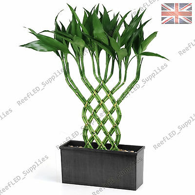 Rare Lucky Bamboo Tree, Dracaena sanderiana Plant  - 10 Viable Seeds - UK Supply
