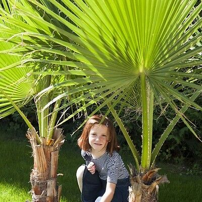 Two Palm Plants Exotic Tropical Tree Pair 1M Tall Garden Patio Balcony Set Of 2