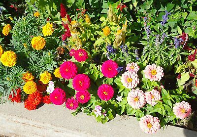 2500 Seeds Zinnia in Flower Dahlia pom-pom'' / Flowers Cut
