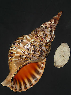 Charonia tritonis w/o 437mm HUGE IMPORTANT BEAUTY FROM PRIVATE SHELL COLLECTION