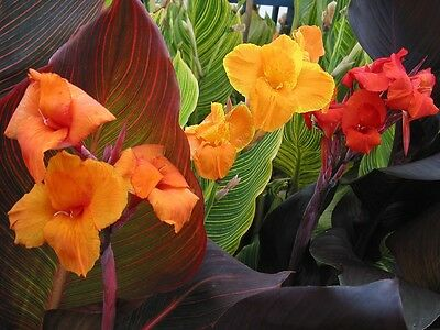 CANNA LILY x 3 Tropicanna (Orange Yellow and Red)