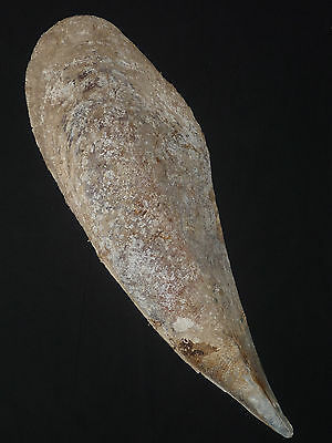 Pinna nobilis 631mm HUGE INTACT RARE SPECIMEN FROM PRIVATE SHELL COLLECTION