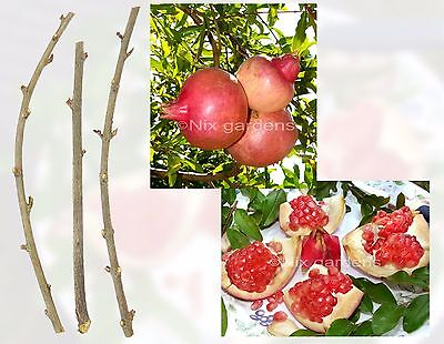 POMEGRANATE TREE CUTTINGS (FRESH This Year's)-Outstanding Sweetness-(6) Cuttings
