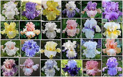 100PCS Mix 24 Color Rare Heirloom Iris seeds Tectorum Perennial Flower Seeds