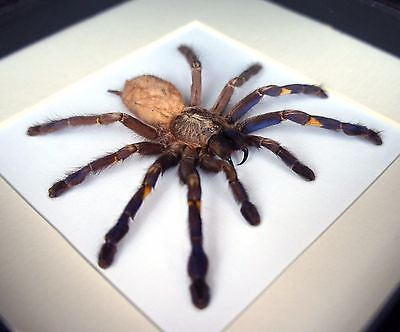 Poecilotheria metallica Gooty tarantula spider taxidermy framed insect art