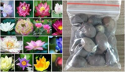 16Pieces MIX 16 color Red white Blue lotus seeds Aquatic Water plants Midnight