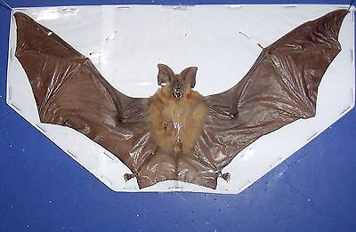 Bat Taxidermy RARE  Hipposideros madurae  in Natural Flying Position Display