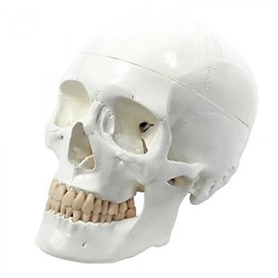 Human Skull Life-Size 3-Parts High Quality Item Anatomical Learning Classic New