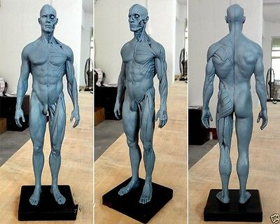 30cm Height Human Anatomical Anatomy Skull Sculpture Head Body Model Muscle 2017