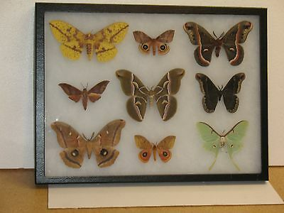 Real framed  Moth Collection from North America