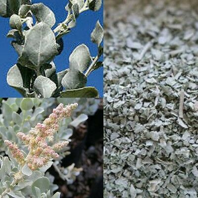 OLD MAN SALTBUSH (Atriplex Nummularia) SEEDS 'Bush Tucker Food'