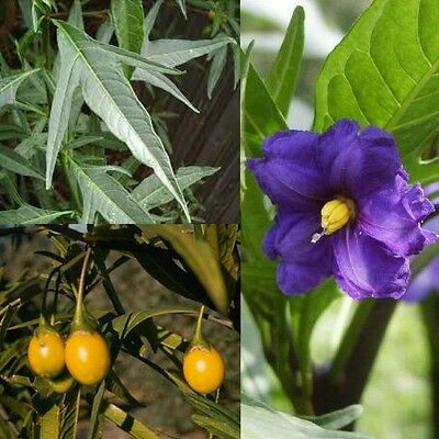 SOUTHERN KANGAROO APPLE (Solanum laciniatum) SEEDS 'Bush Tucker Food'
