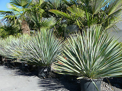 palme yucca rostrata ca 130 cm winterhart 19 1a. Black Bedroom Furniture Sets. Home Design Ideas