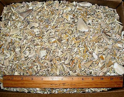 Eocene shark tooth fossils 1 kilo kg unsorted bag ray reptile teeth Morocco