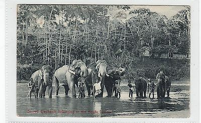SACRED ELEPHANTS BELONGING TO THE KANDY TEMPLE: Ceylon postcard (C27838)