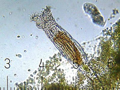 Fresh water rotifers cysts / eggs (Live Food for Fish fry)