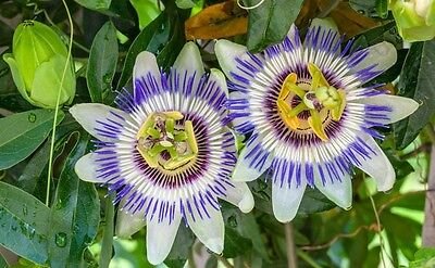 "Passion Flower * Passiflora Caerulea * 3.5"" Pot * Climber"