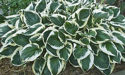 HOSTA PLANT (LIVE Plants/Root)  Shade Loving Plant,Low growing ,Zone 4 - 8