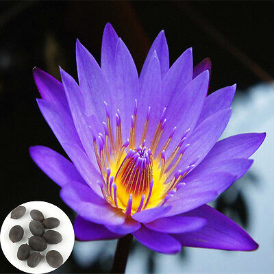 Lots 10XSeeds Lotus Water Lily Flower Bowl Pond Fresh Perfume Flower Seed Hot