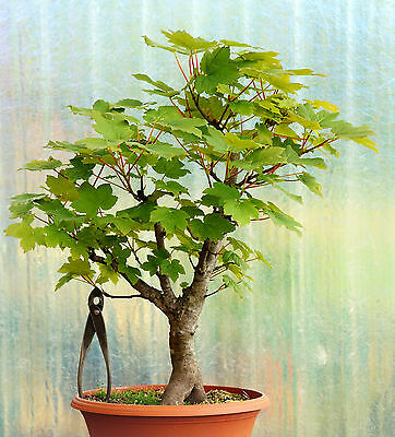 bonsai ahorn bergahorn acer pseudoplatanus 50 cm outdoor. Black Bedroom Furniture Sets. Home Design Ideas