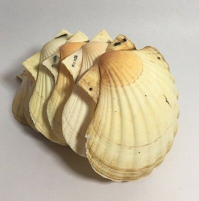 Eight Vintage French Natural Clam Baking Shells