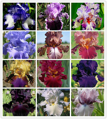 100pcs 24 Color iris Iris orchid seeds Rare Heirloom Tectorum Perennial Flower