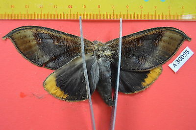 A30095 # Unmounted MOTH Sphingidae Vietnam CENTRAL