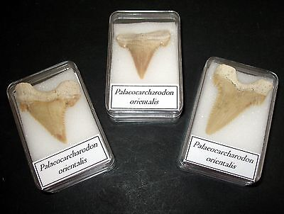 Palaeocene Palaeocarcharodon great white shark tooth fossil super serrations