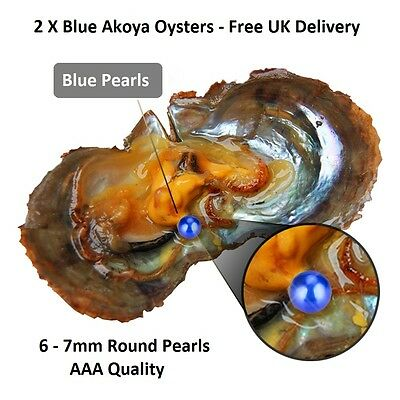 2 Akoya Oysters With 6-7mm Round Blue Pearl Inside - Pearl Party Gift
