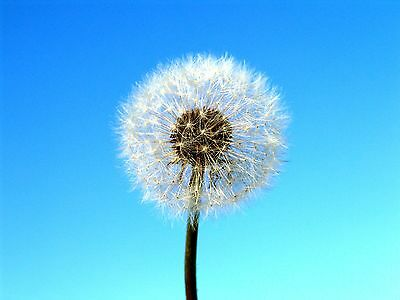2 Digital Photos *print&frame Or Walpaper*no Resell*seeded Out Dandelion Flowers