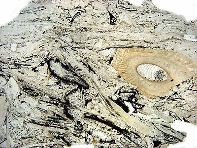 Jurassic Scarborough Fm microscope THIN SECTION set of 5 oolite fossil limestone
