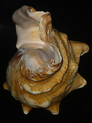 Strombus latus 143mm 376g KNOBBY MATURE SPECIMEN FROM PRIVATE SHELL COLLECTION