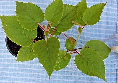 Kiwi vine Hardy Perennial Self Pollinating Established Potted Plant Fruit Bearer