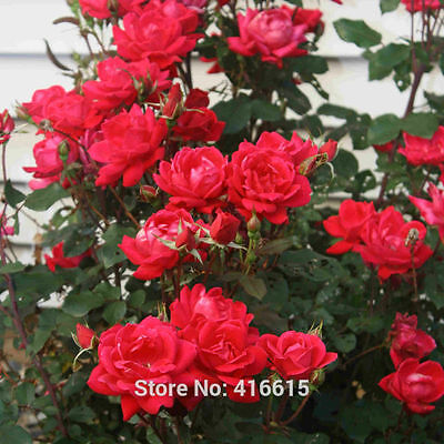 100 Rose Double Knock Out Seeds Landscape Planning - Easy to Grow Roses
