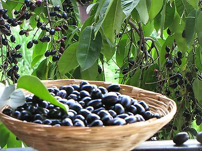 "Black Jamoon Fresh Seeds - ""FRS-9999"" - So Sweet, So Delicious Tropical Fruits"