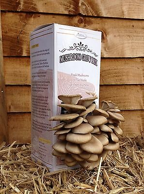 Mushroom Grow Box Kit - Blue Oyster ( Open And Spray Kit )