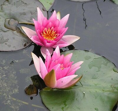 Rene Gerard water lily Pond plants water lilies koi aquatic plants