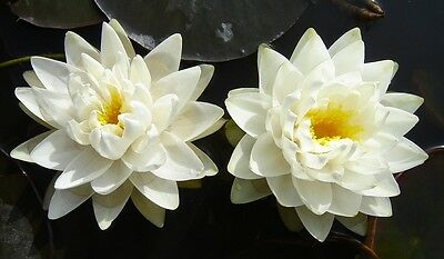 Perrys Double White water lily Pond plants water lilies koi aquatic plants