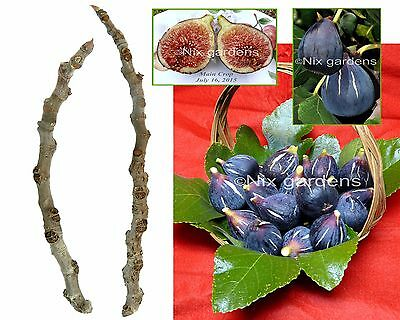 "RARE ""LEBANESE BLACK/PURPLE FIG TREE"" (2) Cuttings - Vigorous & Prolific"